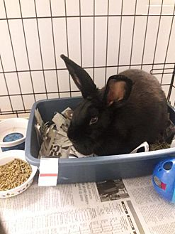 adopt a rabbit in Massachusetts Cadbury
