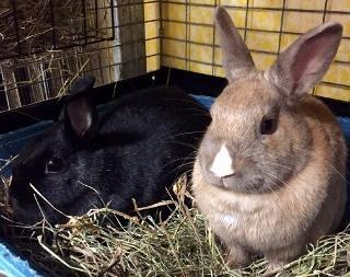 adopt a rabbit in Massachusetts Madonna and Fawn