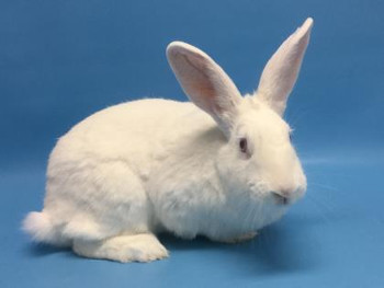 adopt a rabbit in Minnesota Kendra