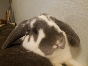 adopt a rabbit in Missouri Atticus