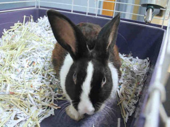 adopt a rabbit in Missouri FLUFFLESTILTSKIN