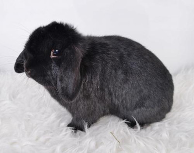 adopt a rabbit in Missouri Pandora