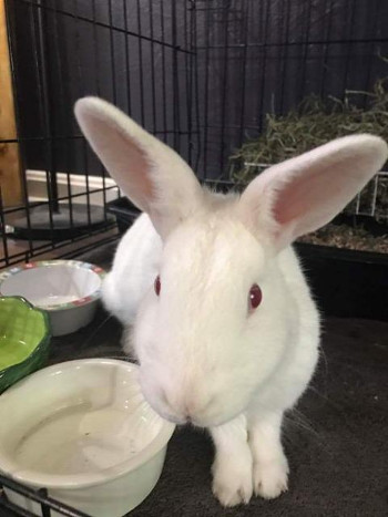 adopt a rabbit in Missouri Phoebe