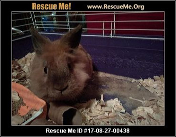 adopt a rabbit in Nebraska Simba