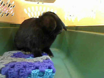 adopt a rabbit in Nebraska Toby