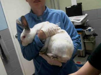 adopt a rabbit in Nebraska Tribble