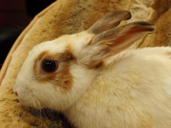 adopt a rabbit in Nevada Alice