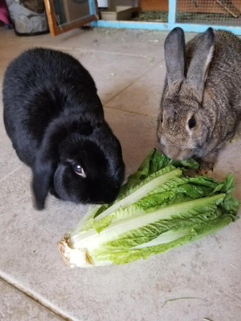 adopt a rabbit in Nevada Bunky bonded with Penelope