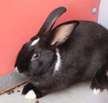 adopt a rabbit in Nevada Horace