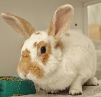 adopt a rabbit in Nevada POLLYANNA