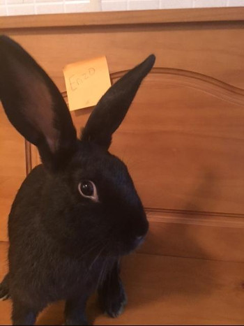 adopt a rabbit in New Jersey Enzo