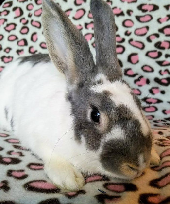 adopt a rabbit in Oklahoma Belle