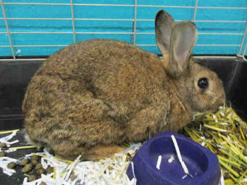 adopt a rabbit in Oklahoma Brownie