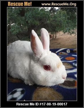 adopt a rabbit in Oregon Marshmallow