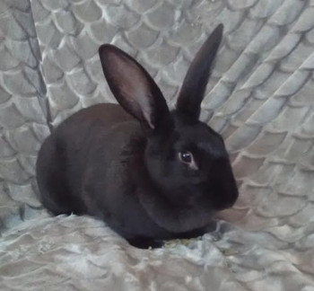 adopt a rabbit in Penny Cottontail