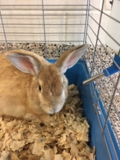 adopt a rabbit in South Carolina Butterbean