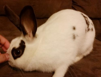 adopt a rabbit in South Carolina Clarissa
