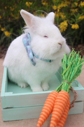 adopt a rabbit in South Carolina Henry