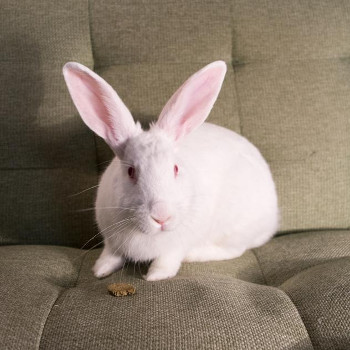 adopt a rabbit in Tennessee Bernie