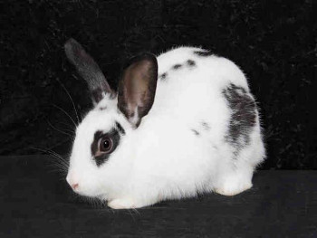 adopt a rabbit in Tennessee Matilda