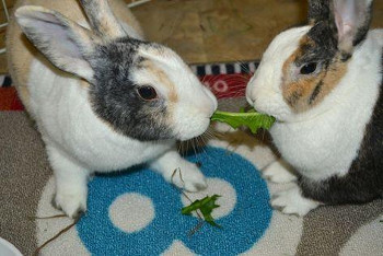 adopt a rabbit in Tennessee Pippa and Poppy