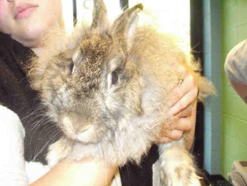 adopt a rabbit in Tennessee Thumper