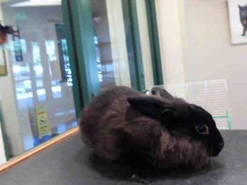 adopt a rabbit in Utah Clover