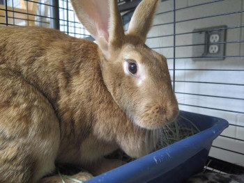 adopt a rabbit in Utah Gertrude