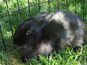 adopt a rabbit in Utah Mindy
