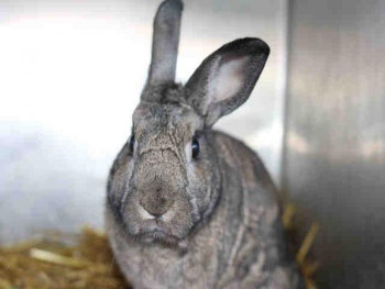 adopt a rabbit in Utah Quin