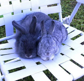adopt a rabbit in Virginia Buns and Hammy
