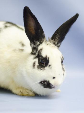 adopt a rabbit in Virginia Mae