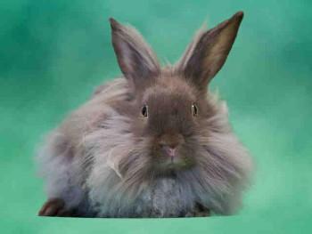 adopt a rabbit in Virginia Rapunzel