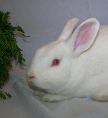 adopt a rabbit in Virginia Shasta