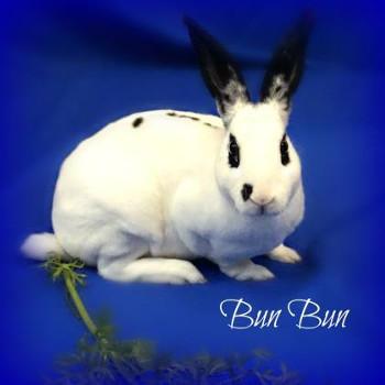 adopt a rabbit in Wisconsin Bun Bun