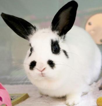 adopt a rabbit in Wisconsin Cadbury