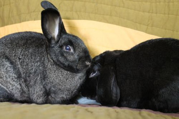 Adopt a rabbit in Wisconsin | rabbits for adoption | rabbits life