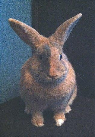 adopt a rabbit in Wisconsin Neo