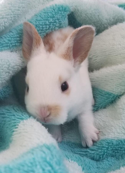 adopt a rabbit in florida mini rex