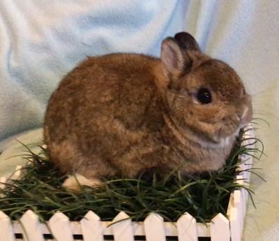 adopt a rabbit in florida netherland lops3