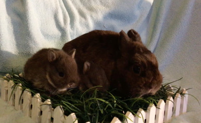 adopt a rabbit in florida netherland lops4