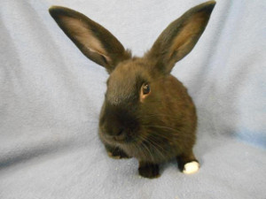 adopt a rabbit in michigan audien