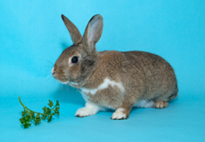 adopt a rabbit in michigan clover