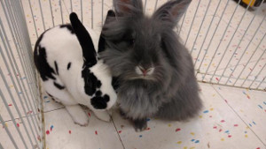 adopt a rabbit in michigan delia and poppie