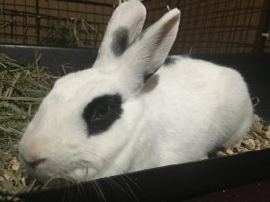 adopt a rabbit in ohio adeline