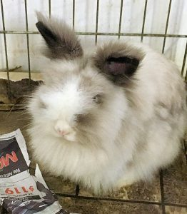 adopt a rabbit in ohio bella