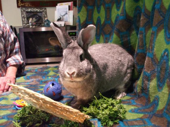 adopt a rabbit in washington Buckwheat