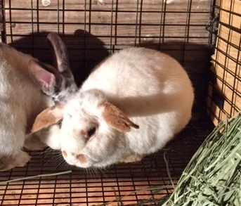 adopt a rabbit is North Carolina Belk