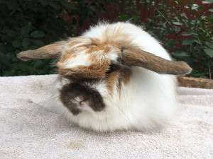 buy a rabbit in illinois fuzzy girl