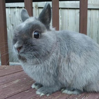 buy a rabbit in illinois gray netherland dwarf